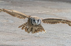 Owl In Flight Royalty Free Stock Photo
