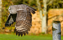Owl in flight Royalty Free Stock Images