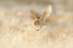 Owl flight. Hunting Barn Owl, wild bird in morning nice light. Beautiful animal in the nature habitat. Owl landing in the grass.