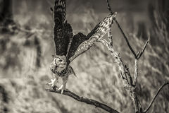 Owl at flight liftoff. Royalty Free Stock Image