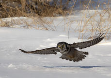 Owl in flight Stock Images