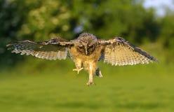 Owl. In flight in nature Stock Photo