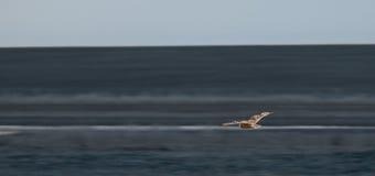 Owl in flight, over the desert Royalty Free Stock Image