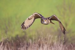 Owl In Flight With Wings Spread Stock Image