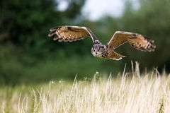 Owl In Flight With Wings Spread Royalty Free Stock Image
