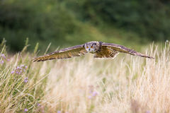 Owl In Flight With Wings Spread Stock Photography