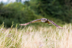 Owl In Flight With Wings Spread Royalty Free Stock Photography