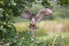 Owl In Flight With Wings Spread Royalty Free Stock Photos