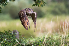 Owl In Flight With Wings Spread Stock Photos