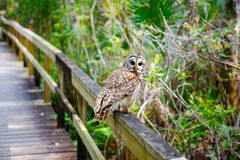 Owl in Florida wetland, wooden path trail at Everglades National Park in USA. Popular place for tourists, wild nature. And animals stock image