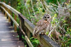 Owl in Florida wetland, wooden path trail at Everglades National Park in USA. Popular place for tourists, wild nature. And animals royalty free stock photography