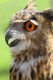 OWL with fluffy feathers and huge orange eyes and beak open Royalty Free Stock Photos