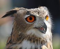 OWL with fluffy feathers and huge orange eyes Royalty Free Stock Photos