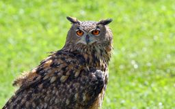 OWL with fluffy feathers and huge orange eyes Stock Photos