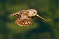 Owl in fly. Flying Eurasian Tawny Owl, Strix aluco, with nice green blurred forest in the background. Stock Photos