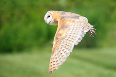 Owl in fly. The owl is flying in the sky Royalty Free Stock Images
