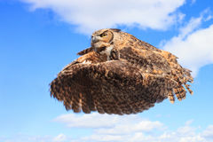 Owl in fly. Great horned owl in fly Royalty Free Stock Images