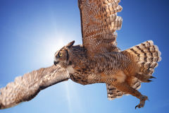Owl in fly. Great horned owl in fly Stock Images