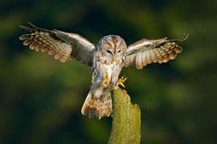 Owl fly in the green forest. Flying Eurasian Tawny Owl, Strix aluco, with nice green blurred forest in the background. Wildlife sc Stock Photos