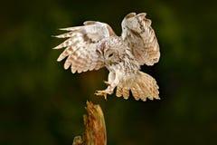 Owl fly in the green forest. Wildlife scene in nature habitat. Animal behaviour, Sweden, Europe. Bird landing. Flying Eurasian Taw Royalty Free Stock Photography