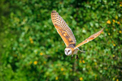 Owl in fly Royalty Free Stock Photography