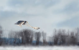 Owl flying Royalty Free Stock Images