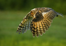 Owl flying. In air clear green background Stock Photos