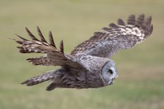 Owl flying. Great grey owl in level flight. Beautiful bird of pr. Owl flying. Great grey owl Strix nebulosa in level flight. Beautiful bird of prey hunting. Side stock photo