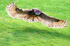 Owl Flying. Great horned owl flying over the grass Stock Photo