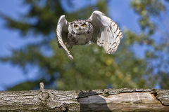 Owl flying over the log Royalty Free Stock Photos