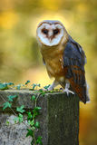 Owl in the forest. Barn owl, Tito alba. Nice owl sitting on stone fence in forest cemetery, nice blurred light green the backgroun Royalty Free Stock Image