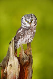 Owl in the forest. Boreal owl, Aegolius funereus, sitting on larch tree trunk with clear green forest background. Wildlife scene f Royalty Free Stock Images