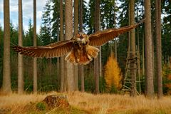 Owl in forest habitat, wide angle lens. Flying Eurasian Eagle Owl with open wings in forest habitat, Sweden. Owl flight with open stock image