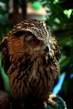 Owl from forest in Thailand royalty free stock photos