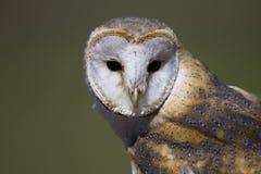 owl för 3 ladugård Royaltyfria Foton