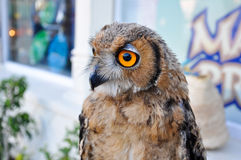 An owl in Friguia Animal Park. Hammamet,Tunisia. Royalty Free Stock Image