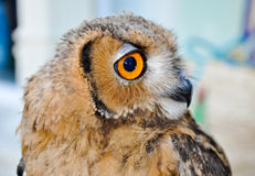 An owl in Friguia Animal Park. Hammamet,Tunisia. Stock Photo