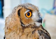 An owl in Friguia Animal Park. Hammamet,Tunisia. Stock Photo