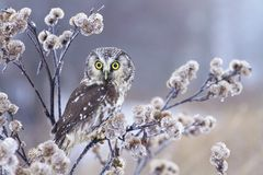 Owl on frozen thistle Royalty Free Stock Image