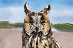 Owl full face Royalty Free Stock Photos