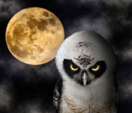 Owl and Full Moon Stock Images