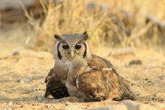 Owl, Giant Eagle - African Eyes Royalty Free Stock Images