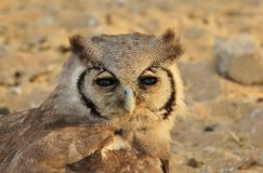 Owl, Giant Eagle - African Feathers Royalty Free Stock Photography