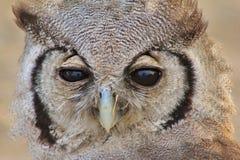 Owl, Giant Eagle - African Hang-over Stock Photos