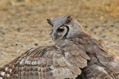 Owl, Giant Eagle - African Stealth Stock Image