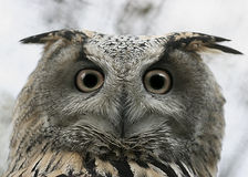 Owl glance  Royalty Free Stock Image