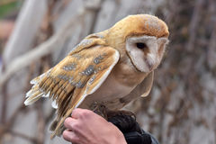 Owl on the glove Stock Image