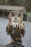Owl on gloved hand. An Owl on a falconers gloved hand Royalty Free Stock Image