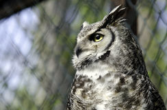 An owl Grand Duke Stock Photography