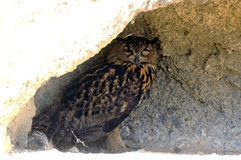 Owl or Grand Duke ornithological park Stock Image